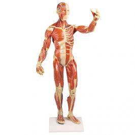 Erler-Zimmer Model svalů lidského těla